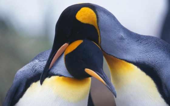 пингвины, pair, пингвинов,