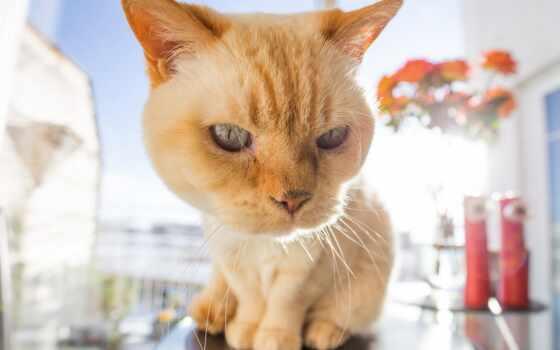 кот, картинка, animal, domestic, май, мопс