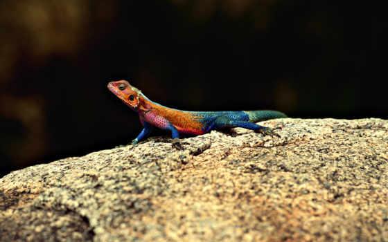 ящерица, камен, разноцветная