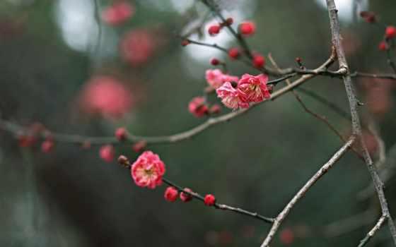 Сакура, flores, con, восходящего, солнца, страны, парках, аллеях, cvety, высококачественных, цветущая,