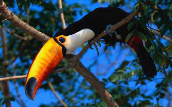 тукан, птица, exotic