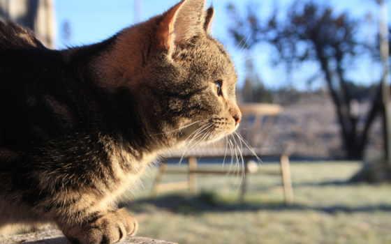 кот, солнечный, осень, серый, усы,