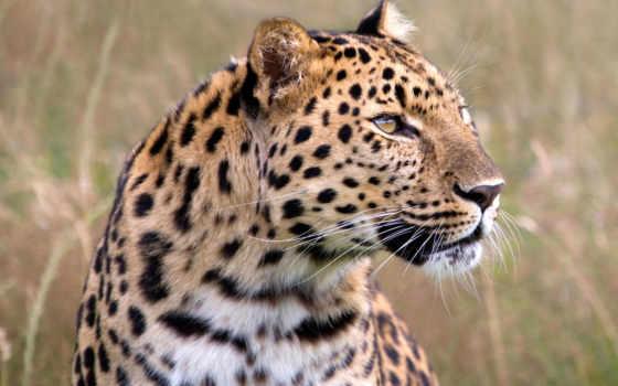 леопард, рычит, может, publish, звуки, хриплые, глухое, различные, рычание,
