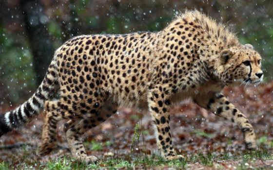 кошки, animals, гепард