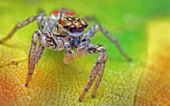 inclemens, jumping, паук, maevia, photos, их, flickr, пауках, dimorphic, arachnid,