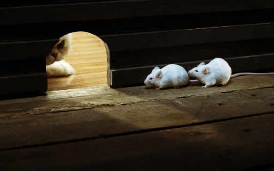 кот, мыши, кошки, mouse, мышки, за, есть, об, охотится,
