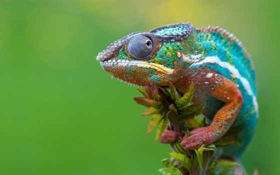 chameleon, красивые, хамелеоны, животных, их, хамелеона,