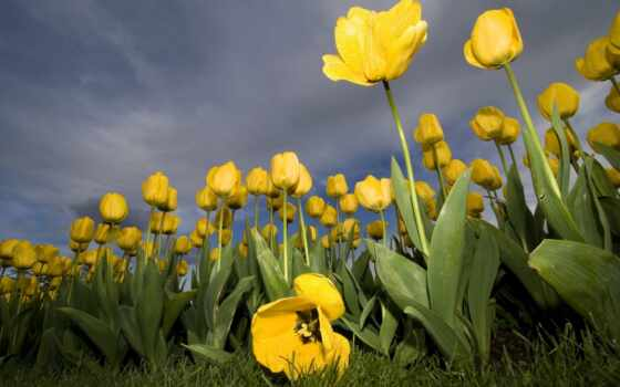 flowers, wallpaper, tulips, yellow, тюльпанов, nature, wallpapers, желтые, widescreen, desktop, тюльпаны, kb, güzel, hotwalls, resimleri, tablet,