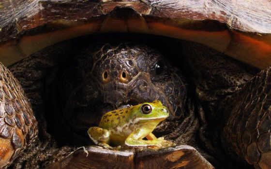лягушка, черепаха