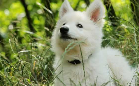 овчарка, щенок