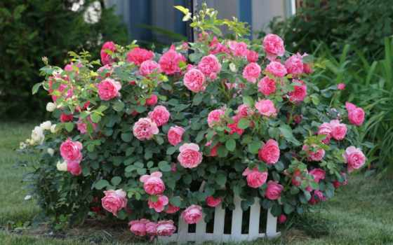 цветы, розы, розовый