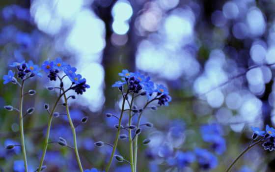 незабудки, цветы, трава