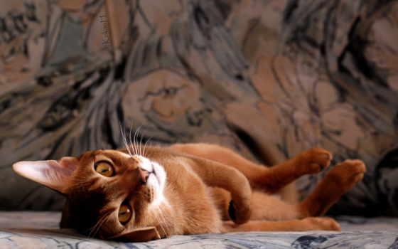 кот, абиссинская, кошек