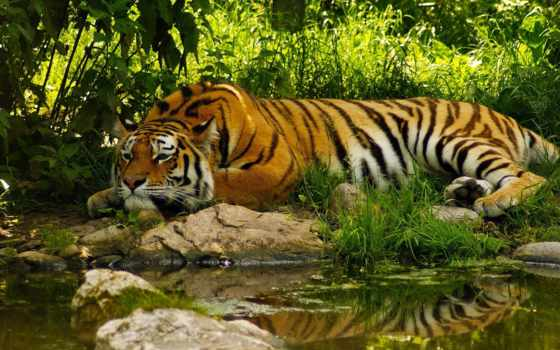 умиротворение, тигр, water, tranquility, хочется, пруд, спокойствия, но,