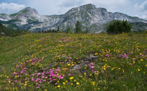 альпы, summer, цветы