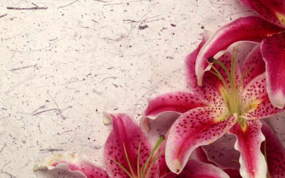лилии, розовые, кб