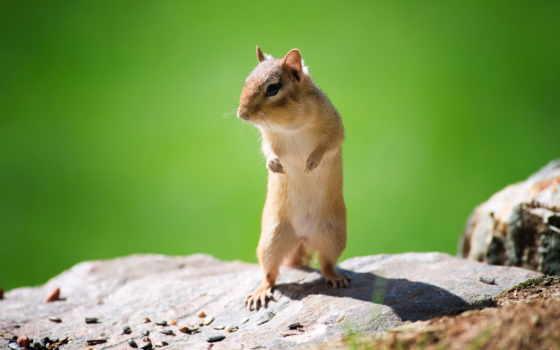 задних, лапах, стоит, mouse, полёвка, бурундук, белки, лапках, июнь,