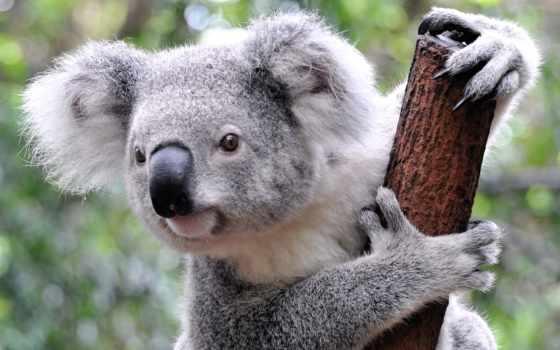 коалы, коала, австралии, сумчатый, мишка, оригинальные, эндемики, семейства, эвкалиптовых, живут, zhivotnye,