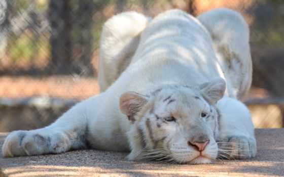 albino, тигр, хищник, lies, baby, телефон, preview, mobile, снег,