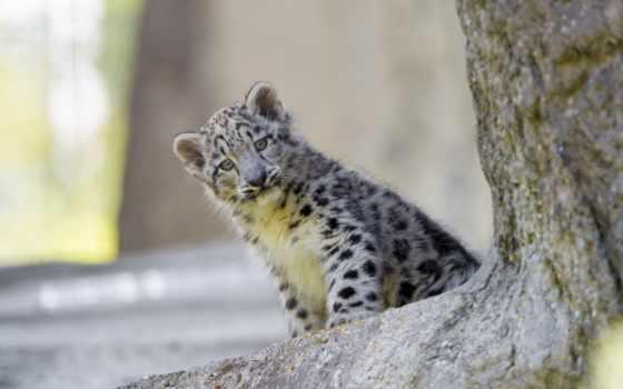leopárd, леопард, hóleopárd, pin, снег, pinterest, nagymacska,