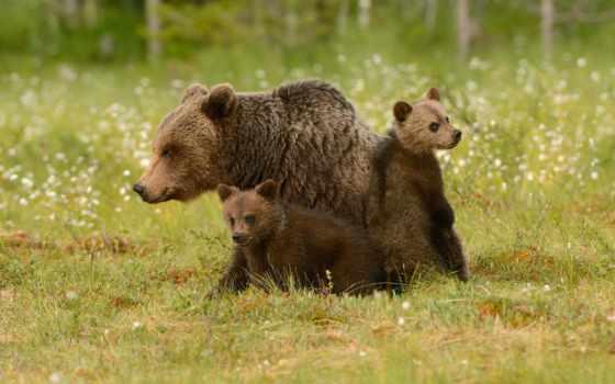 медведь, bears, браун, cubs, polar, два, grizzly, мама, pinterest, аляска,