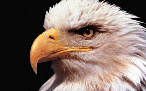орлан, белоголовый, haliaeetus, leucocephalus, американский, зооклубе,