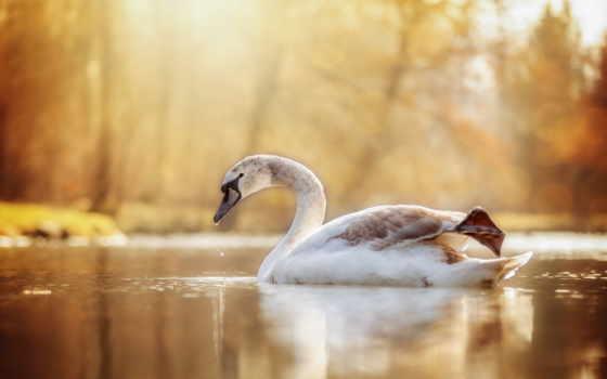 cisne, качество, часть, лебедь, high, resolution, cheap, мб, количество,