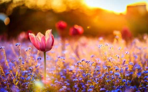 закат, cvety, тюльпаны, поле, тюльпан, незабудки, полевые,
