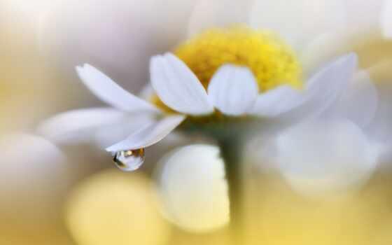 цветы, daisy, природа, design, artistic, цвета, abstract, white, лепестки, art, marguerite