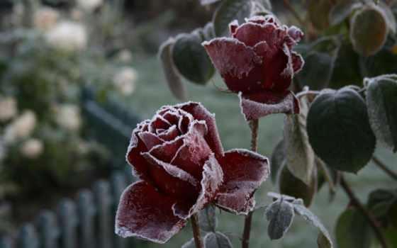 макро, цветы, роза
