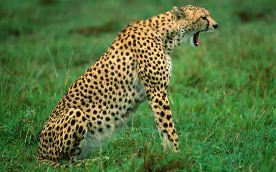 гепард, шерсть, dogs, гепардов, охотятся, похожа, гладкошерстных, sit, болезнями, собачьими,