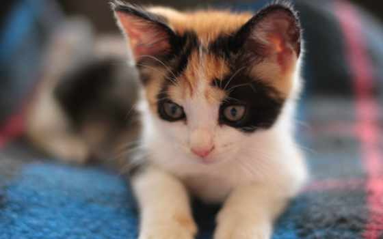 calico, котенок, kittens, desktop, free, cats, кот, pictures,