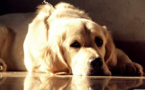 золотистый, retriever, mix, хаски, собака, size, desktop, free,