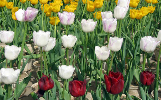 тюльпан, белый, красный