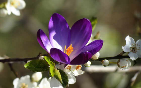 цветы, цветущей, ветке, cherry, branch, lying, цветущая, крокус, крокуса, макро,