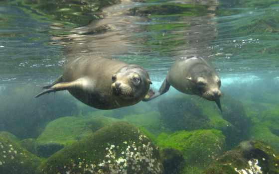 котики, морские, море, тюлени, тюлень, воде, под, водой, морских,