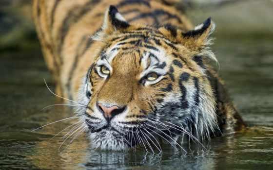 тигр, кот, морда Фон № 94624 разрешение 1920x1200