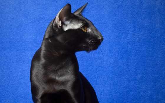 кот, black, desktop, фон, bakgrunn, oriental,