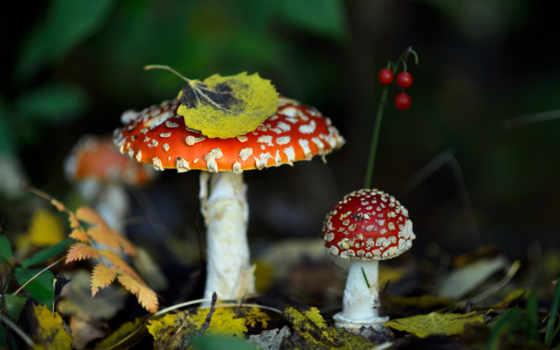 природа, naturaleza, грибы, осень, мухомор, hongos, imagen, ягоды, листва,