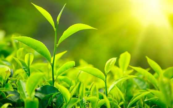 зелёный, листва, чая