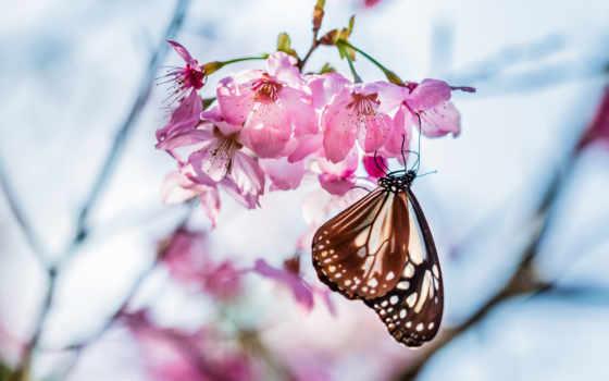 Сакура, бабочка, фон, макро, title, коллекция, branch, группа,