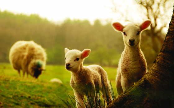 ламб, телефона, овечкой