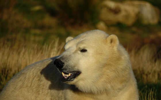 медведь, polar, white, глаза, смотреть, взгляд, portrait, морда