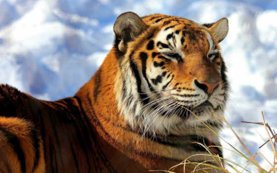 тигр, amur, морда