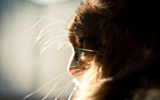 кот, пушистый, усы