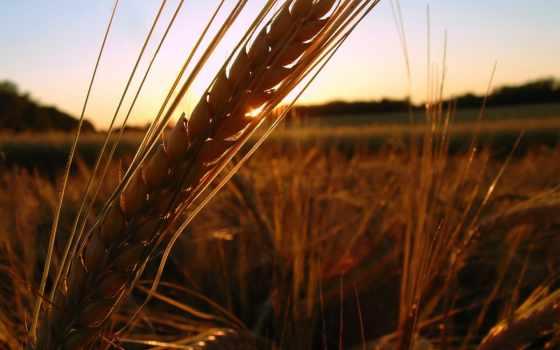 поле, закат, серьги, закате,