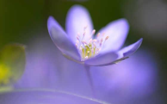 весна, цветы, cvety, blue, картинка, макро, крокусы, макросъемке, красивые,