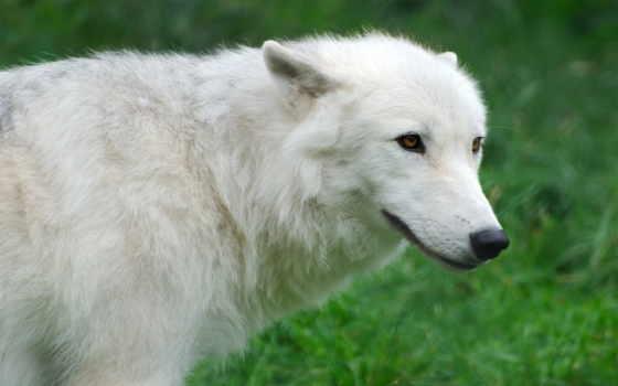 lupo, bianco, волк, sfondi, immagini, волки, desktop, artico,