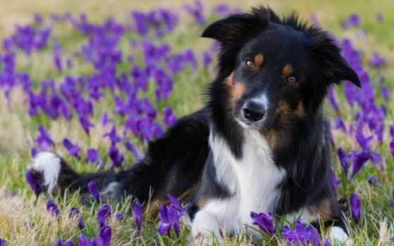 border, колли, собаки, cvety, весна, собака, крокусы, взгляд,