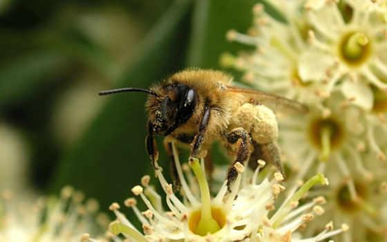 пчелка, пчелы, макро
